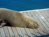 South Africa, Cape Town - Seal