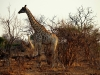 Chobe National Park - Giraffe