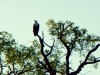 Chobe National Park - Fish Eagle