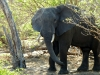 Chobe National Park - Elephant