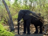 Chobe National Park - Elephant 2