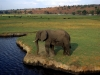 Kasane - Elephant with croc in background