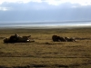 serengeti-and-ngorongoro-crater-lion-11