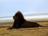 serengeti-and-ngorongoro-crater-lion-15