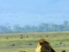 serengeti-and-ngorongoro-crater-lion-19