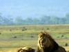 serengeti-and-ngorongoro-crater-lion-20