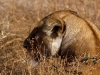 serengeti-and-ngorongoro-crater-other-lion-3