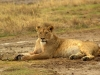 serengeti-and-ngorongoro-crater-other-lion-5