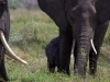 serengeti-and-ngorongoro-crater-elephant-13