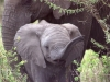 serengeti-and-ngorongoro-crater-elephant-5