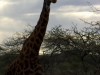 serengeti-and-ngorongoro-crater-giraffe-1