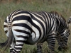 serengeti-and-ngorongoro-crater-zebra-5