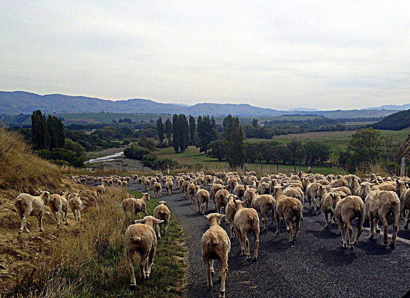sheep road block