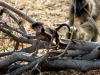 Chobe National Park - Monkey saying hello