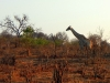 Chobe National Park - Giraffe 2