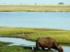 Chobe National Park - More Buffalo