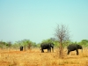 Chobe National Park - Elephants 2