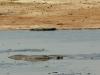 Hwange NP - Hippo and Croc