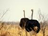 Hwange NP - Ostriches