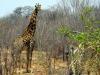 Hwange NP - Giraffe 2