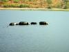 Kasane - Hippos