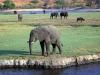 Kasane - Elephant