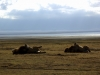 serengeti-and-ngorongoro-crater-lion-12