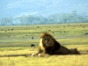 serengeti-and-ngorongoro-crater-lion-16