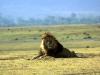 serengeti-and-ngorongoro-crater-lion-17