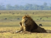 serengeti-and-ngorongoro-crater-lion-18