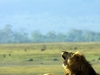 serengeti-and-ngorongoro-crater-lion-7