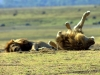 serengeti-and-ngorongoro-crater-lion-8