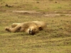 serengeti-and-ngorongoro-crater-other-lion-4