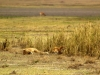 serengeti-and-ngorongoro-crater-other-lion-6
