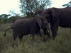 serengeti-and-ngorongoro-crater-elephant-11