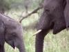 serengeti-and-ngorongoro-crater-elephant-4