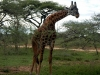 serengeti-and-ngorongoro-crater-giraffe-2