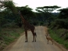 serengeti-and-ngorongoro-crater-giraffe-6