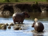 serengeti-and-ngorongoro-crater-hippo-1