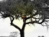 serengeti-and-ngorongoro-crater-leopard-7