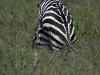serengeti-and-ngorongoro-crater-zebra-1