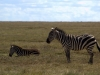 serengeti-and-ngorongoro-crater-zebra-2