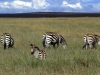 serengeti-and-ngorongoro-crater-zebra-3