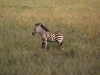 serengeti-and-ngorongoro-crater-zebra-4