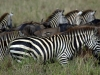 serengeti-and-ngorongoro-crater-zebra-6