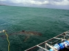 ct-shark-circling-cage