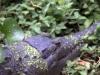 mas-farm-croc-hiding-2